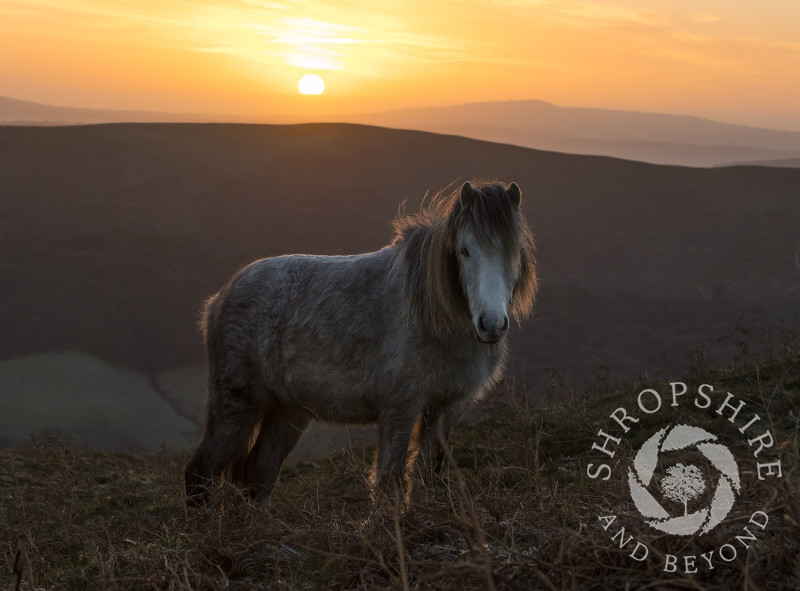 Wild pony on the Long Mynd at sunrise, Shropshire.