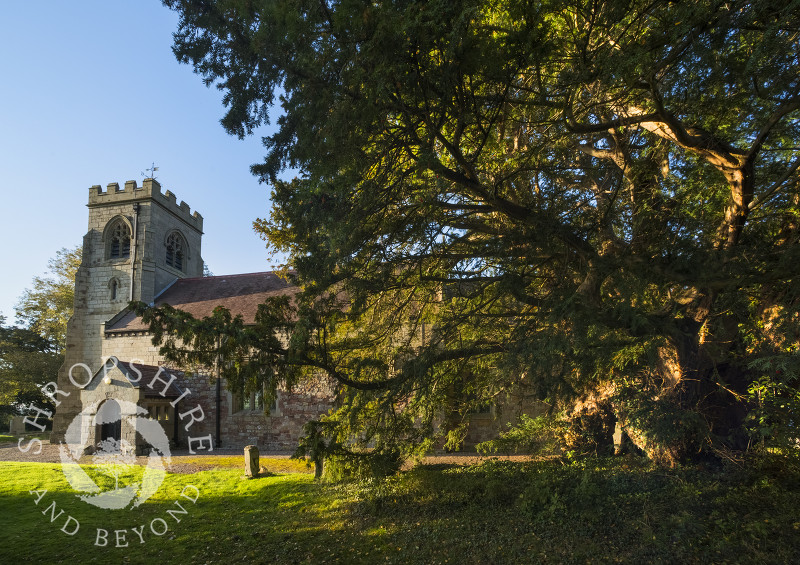 The ancient yew tree and Holy Trinity Church at Uppington, Shropshire.