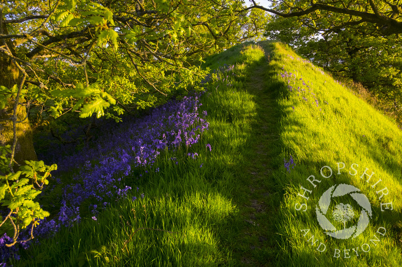 Evening sunlight on the ramparts of Burrow Hill Camp, an Iron Age hill fort near Craven Arms, Shropshire, England.