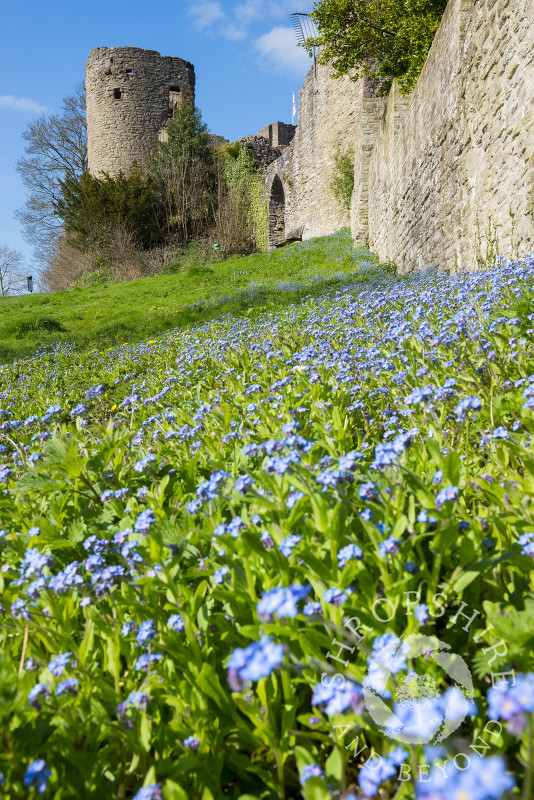 A bank of forget-me-nots beneath a wall at Ludlow Castle in Shropshire.