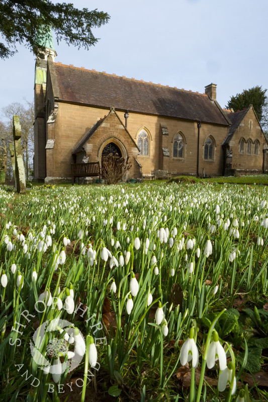Snowdrops in the churchyard of Holy Innocents at Tuck Hill, near Bridgnorth, Shropshire.