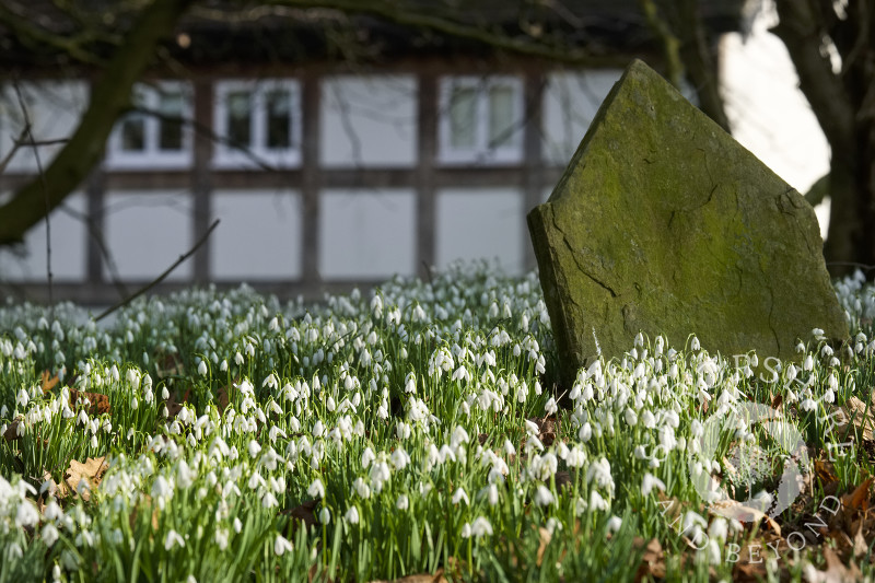 Snowdrops among the gravestones at St Peter's Church, Stanton Lacy, Shropshire.