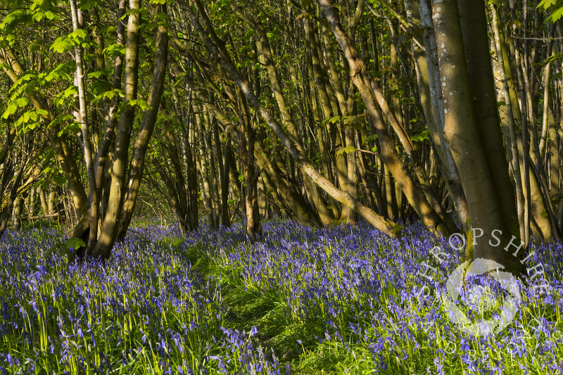 Early morning light on bluebells in Sallow Coppice, near Craven Arms, Shropshire.