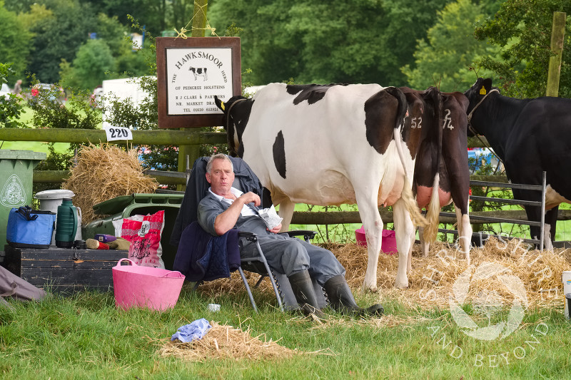 Time for a snack among Holstein cattle at Burwarton Show, near Bridgnorth, Shropshire, England.