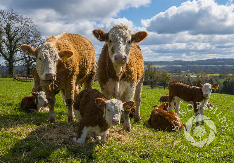 Hereford cattle grazing at Stone Acton, near Cardington in Shropshire, with Wenlock Edge seen in the distance.