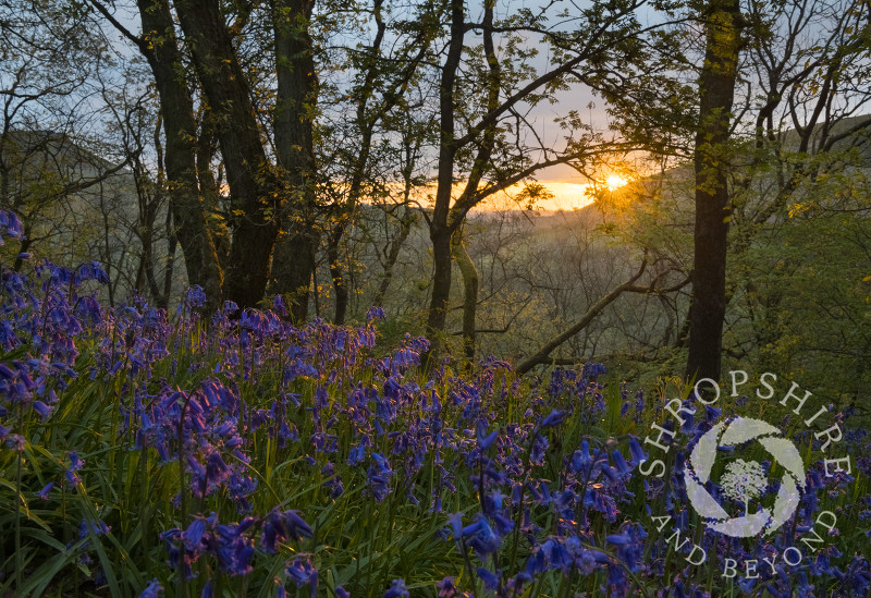 Bluebells at sunrise on Helmeth Hill, near Church Stretton, Shropshire.