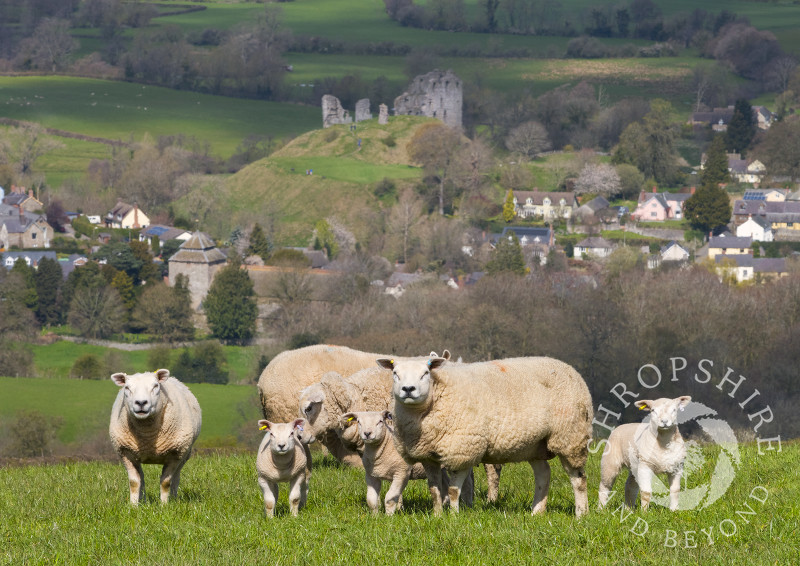 Texel sheep above the village of Clun, Shropshire.