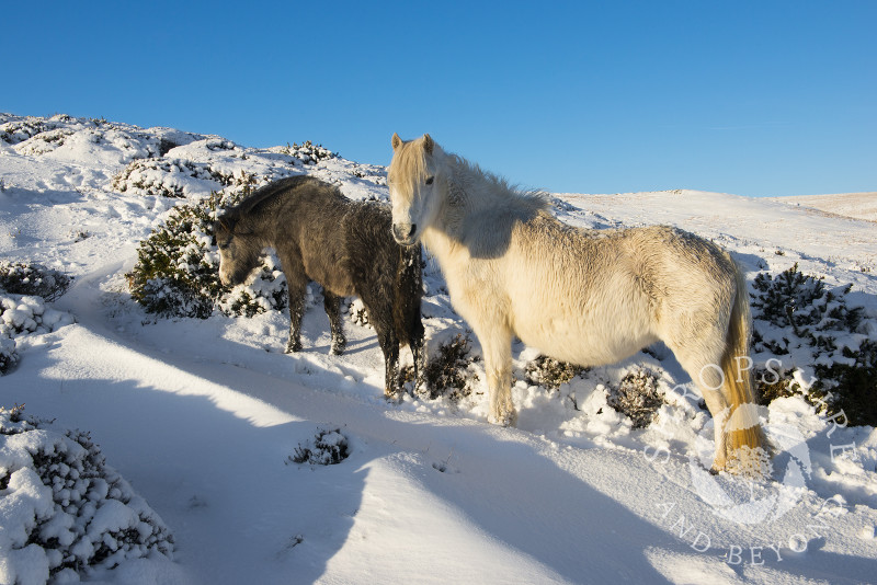 Wild ponies on the Long Mynd in winter, Church Stretton, Shropshire.