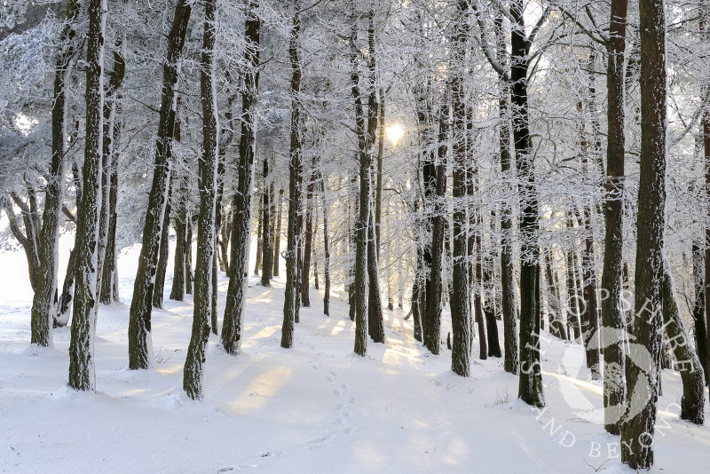 Sunight filters through trees covered in snow and ice on the Wrekin, Shropshire, England.