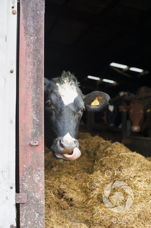 A cow in a barn at Middle Farm, Shelve, on the Stiperstones, Shropshire, England.