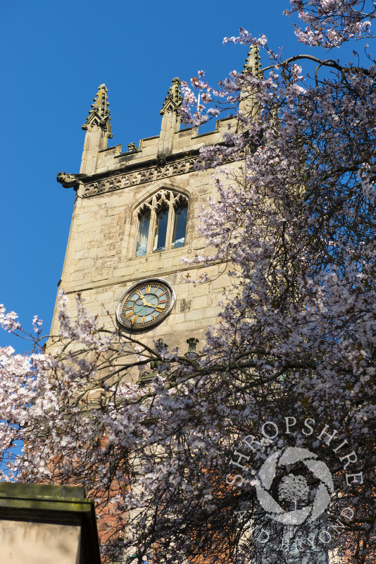 The tower of St Julian's Church framed by spring blossom, Shrewsbury, Shropshire, England.