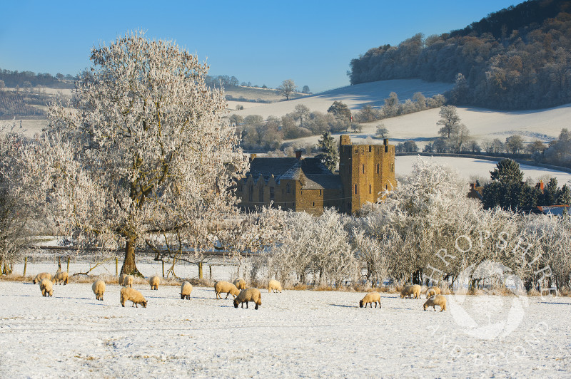 Sheep grazing in front of Stokesay Castle, Shropshire, England.