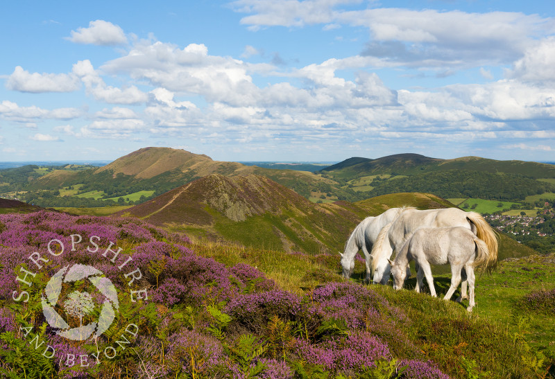 Three wild pones on the Long Mynd, Shropshire.