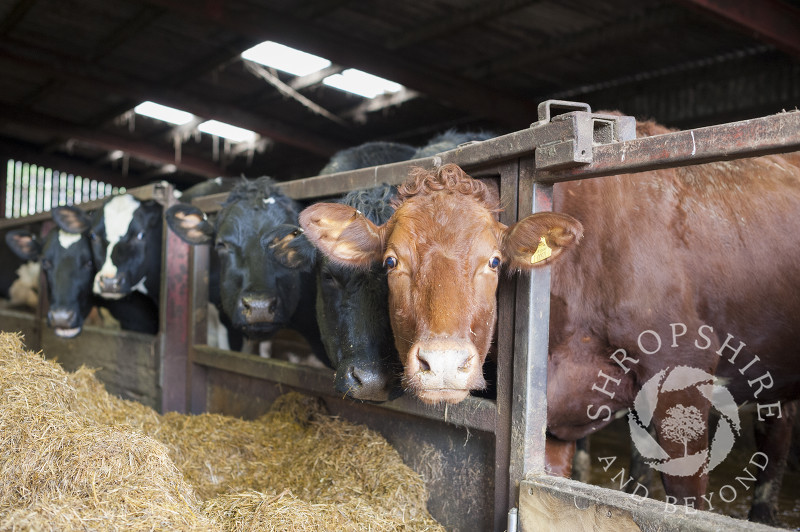 Cows in a barn at Middle Farm, Shelve, on the Stiperstones, Shropshire, England.