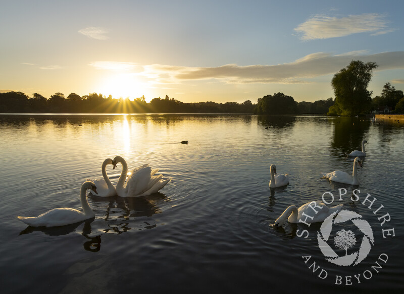 Mute swans at sunrise on The Mere at Ellesmere in Shropshire.