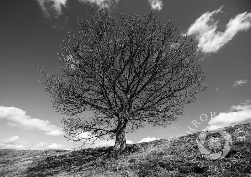 An oak tree on the ramparts of Burrow Hill Iron Age hill fort, near Hopesay, Shropshire, England.