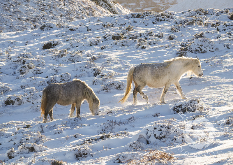 Wild ponies on the Long Mynd after overnight snow, Church Stretton, Shropshire.