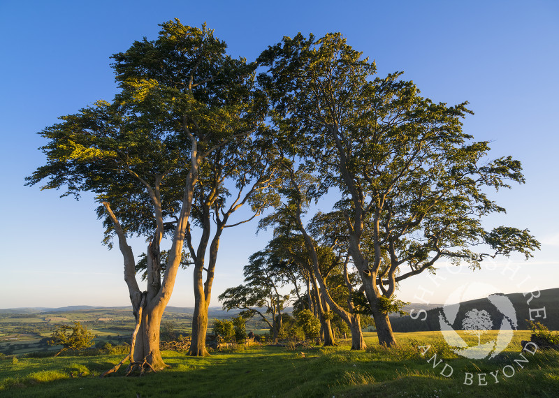 Evening sunlight on the avenue of ancient beech trees on Linley Hill, Shropshire.