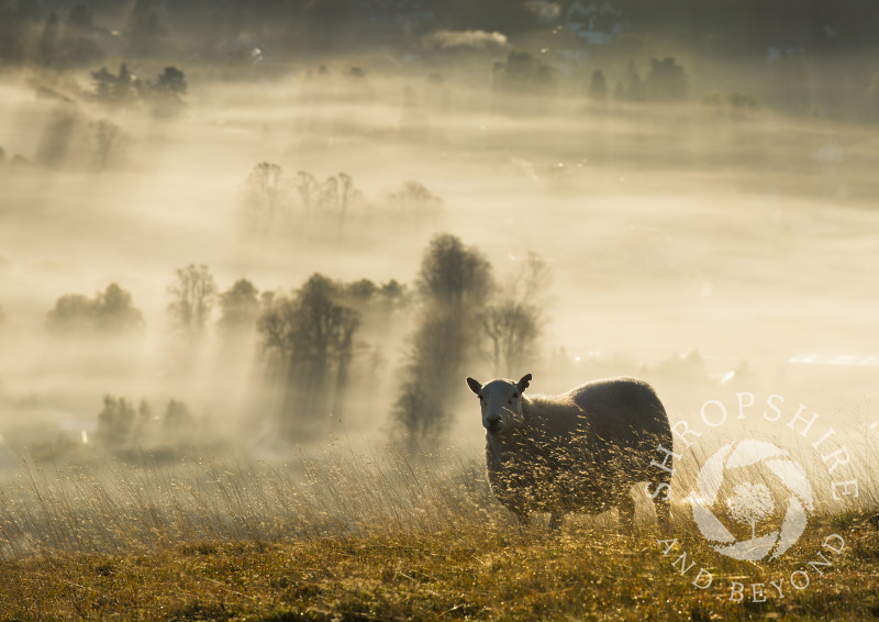 A sheep on the Long Mynd silhouetted by a blanket of mist covering the town of Church Stretton, Shropshire, England.