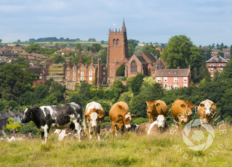 Cows grazing on the Hermitage overlooking St Leonard's Church, Bridgnorth, Shropshire.