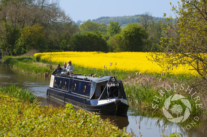 Oilseed rape grows in a field alongside the Montgomery Canal at Maesbury, Shropshire, England.