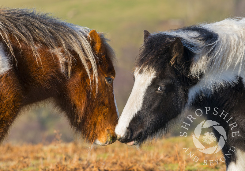 Two wild ponies nuzzling on Hopesay Common, near Craven Arms, Shropshire.