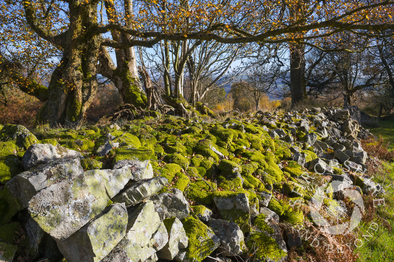 Moss grows over an old stone wall on Brook Vessons Nature Reserve, Shropshire
