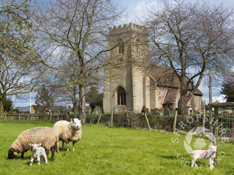 Ewes and lambs grazing near St Lucia's Church in the village of Upton Magna, Shropshire.
