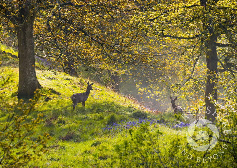 Roe deer on Burrow Hill, near Craven Arms, Shropshire.