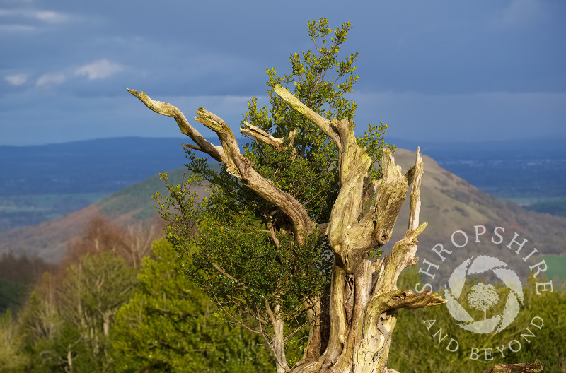 Winter sunshine highlights one of the gnarled holly trees on the Hollies Nature Reserve, the Stiperstones, Shropshire.