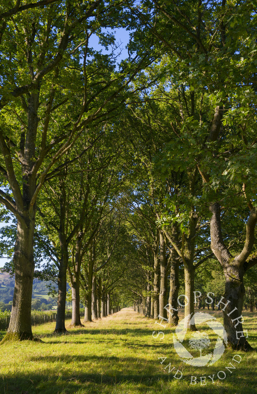 A mile long avenue of beech trees leading to Linley Hall, Shropshire.