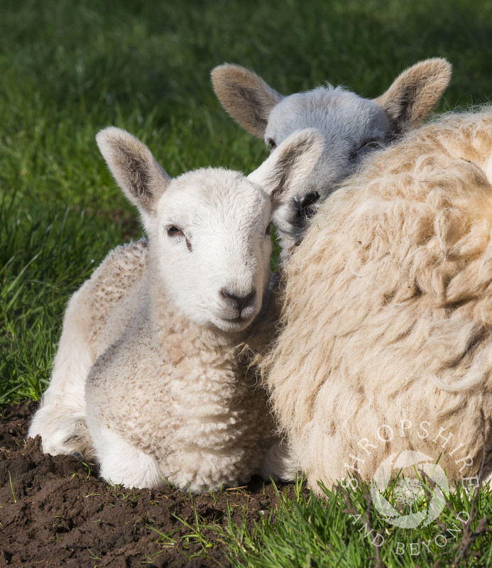 Twin lambs snuggle up to their mum in a field beneath the Stiperstones, Shropshire.