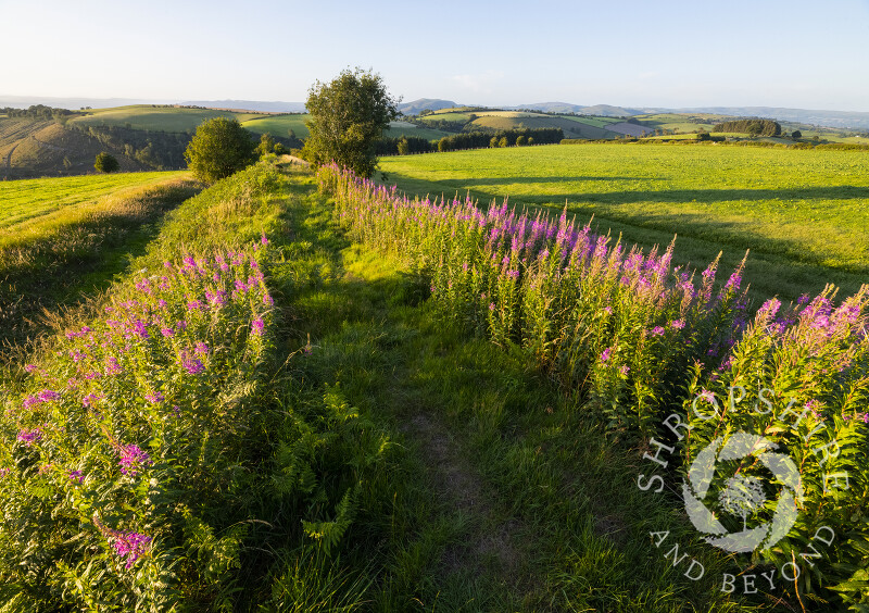 Rosebay Willow Herb line the ramparts of Offa's Dyke in the Clun Valley, Shropshire.