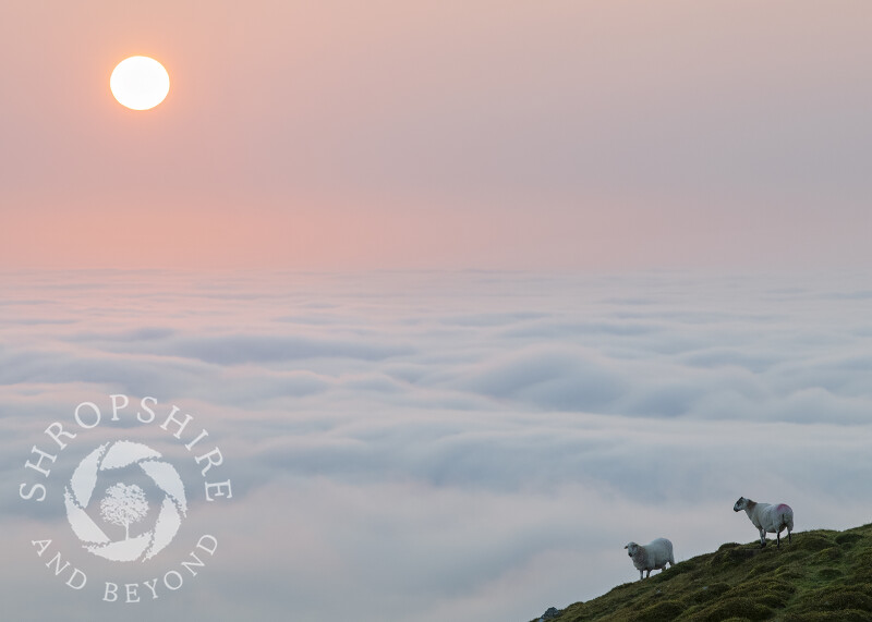 Sheep at sunrise on Titterstone Clee Hill in Shropshire.