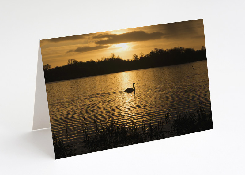 A swan at sunrise on the Mere at Ellesmere, Shropshire.