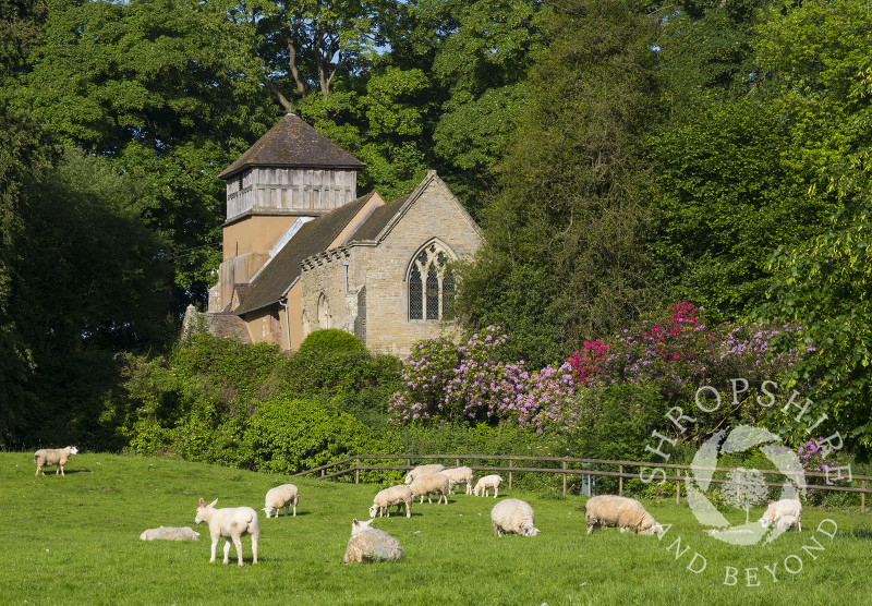 Sheep grazing near St James' Church, Shipton, Shropshire.