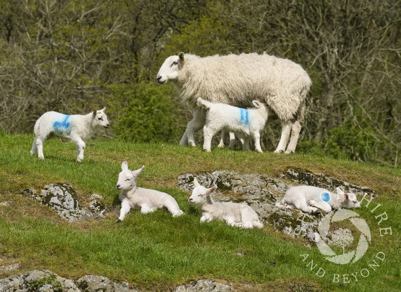 Lambs enjoying the sunshine at Gaer Stone Farm, Church Stretton, Shropshire.