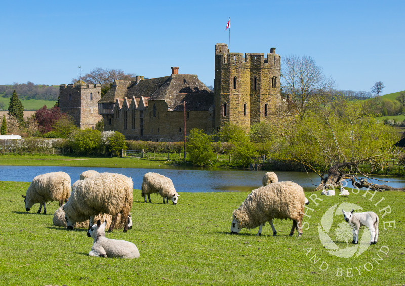 Sheep and lambs grazing at Stokesay Castle, Shropshire.