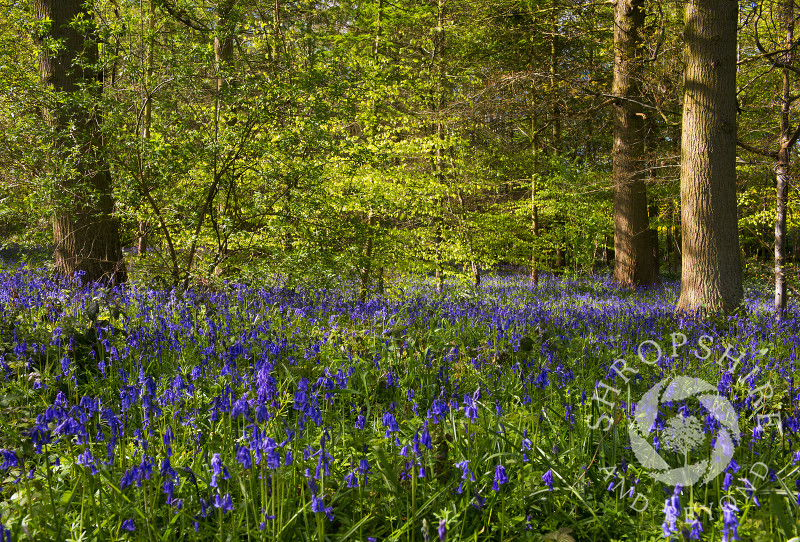 Carpet of bluebells in woodland at Shifnal, Shropshire, England.