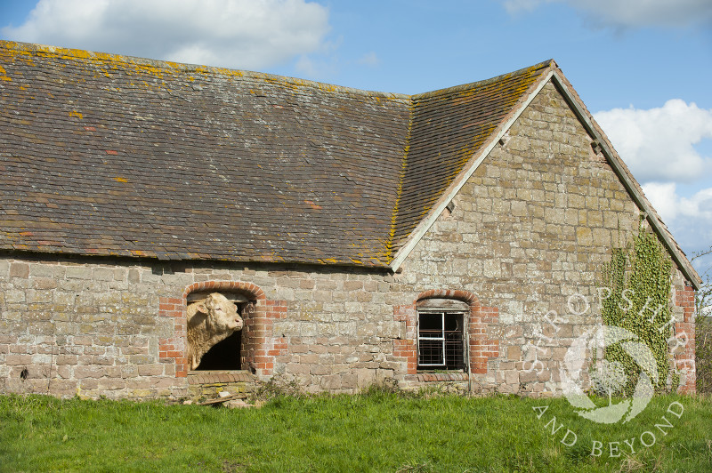 A bull poking its head through a window in an old barn at Holdgate, Shropshire.