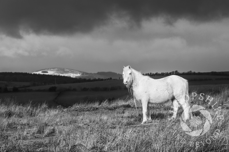 Black and white study of a pony on Hopesay Common, near Craven Arms, Shropshire, England.