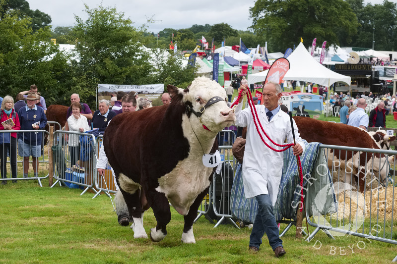 A Hereford bull in the parade ring at Burwarton Show, near Bridgnorth, Shropshire, England.