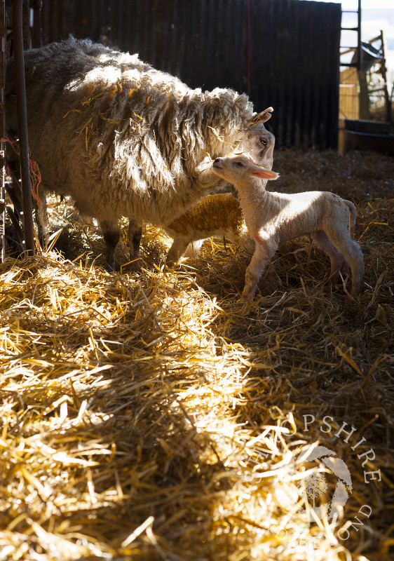 A sheep nuzzles her lamb in a barn at Middle Farm, Shelve, on the Stiperstones, Shropshire, England.