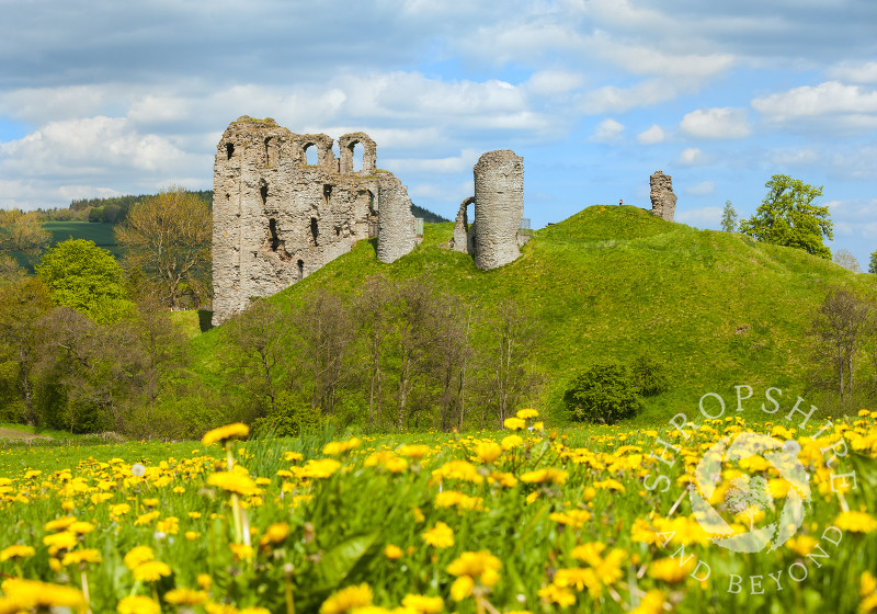 A carpet of dandelions beneath the ruins of Clun Castle, south Shropshire, England.