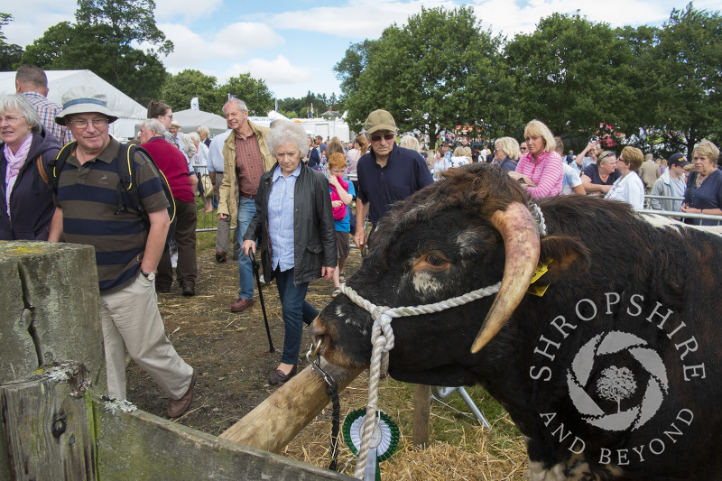 Visitors passing the cattle pens at Burwarton Show, near Bridgnorth, Shropshire, England.