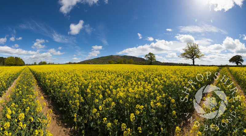 A panoramic view of an oilseed rape field, looking to the Wrekin, Shropshire, England.