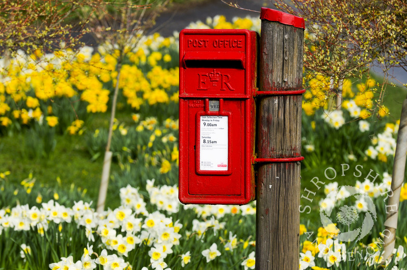 Daffodils surround a post box at Richards Castle, near Ludlow, Shropshire, England.