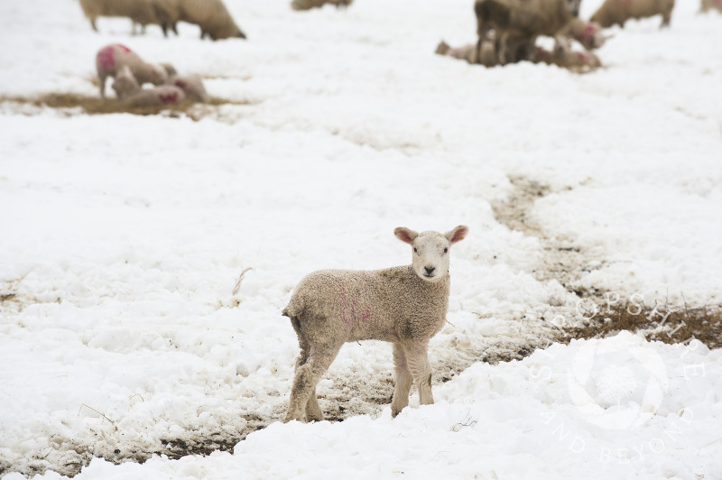 Lambs and sheep in spring snow on the Stiperstones in South Shropshire, England.