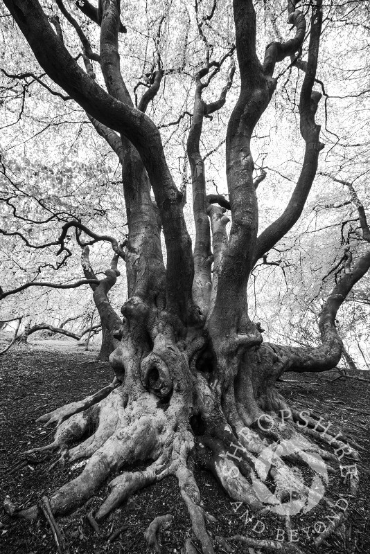 Monochrome image of a tree and twisted roots on the Wrekin, Shropshire, England.