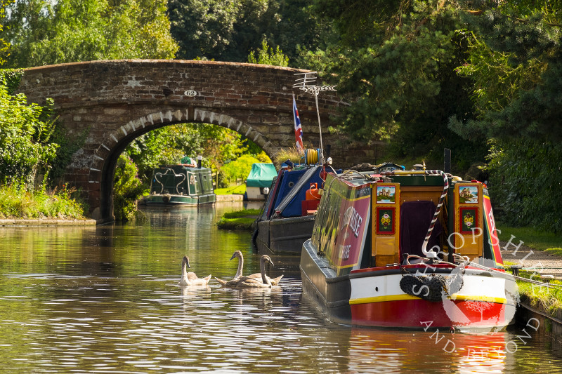Swans on the Shropshire Union Canal at Talbot Wharf, Market Drayton, Shropshire.